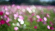 Cosmos flowers garden Dolly blured.