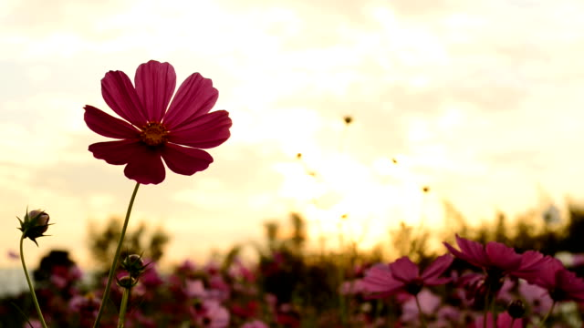 Cosmos flowers in the light of the Sun sets.