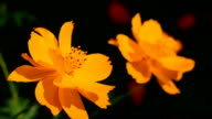 Cosmos flowers in yellow gold.