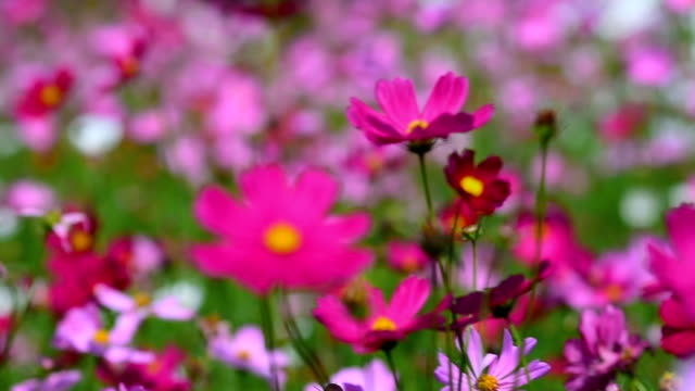 Cosmos flowers pink