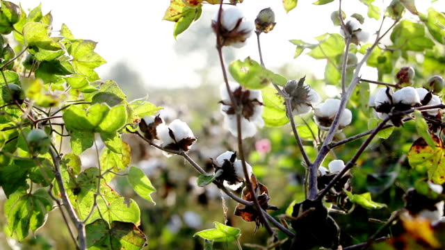 Cotton Field Close up in Early Morning