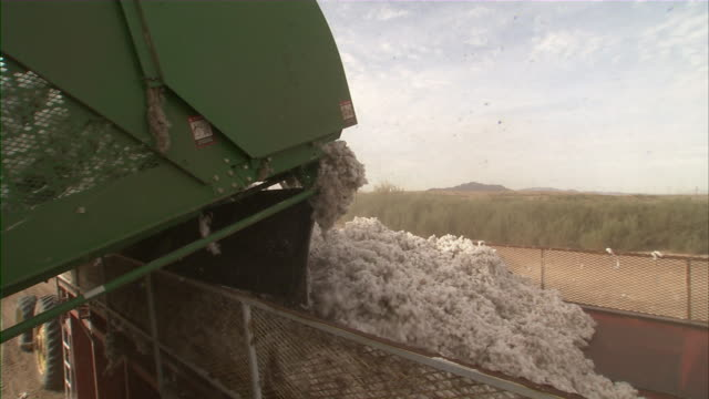 MS Cotton harvester empties picked cotton into baling machine