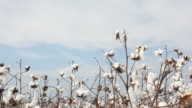 Cotton plant field on sky