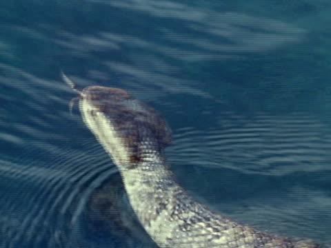 Cottonmouth Rattlesnake swimming in water MS head of swimming Cottonmouth Rattlesnake UNDERWATER TU WS Swimming rattlesnake thorough vegetation
