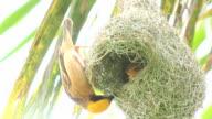 HD: Couple bird build nest on tree