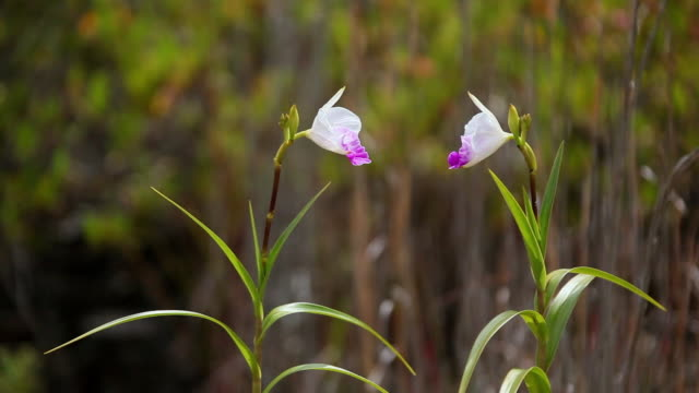 MS Couple of bamboo orchid flower shaking by wind / Volcano, Big Island,Hawaii, United States
