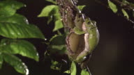 A Couple Of Forest Green Tree Frogs Looking For An Egg-Laying Site