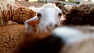 Paar Schafe Grasen