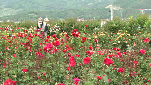 A couple visits a rose garden in Sakaki, Japan.