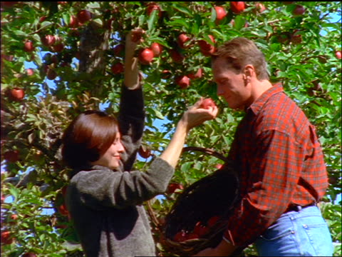 Couple with basket picking apples off tree + smelling them
