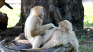 Couples of white handed Gibbon