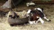Kuh und Geflügel