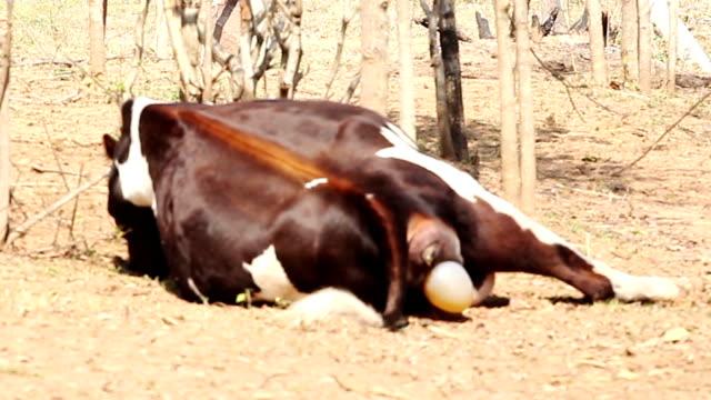 Cow calving