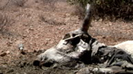 Cow carcass and bird in savannah on August 01 2011 in Garisa Kenya
