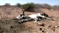 Cow carcass in the savanna on August 01 2011 in Garisa Kenya
