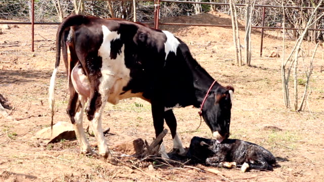 Cow cleaning her newborn