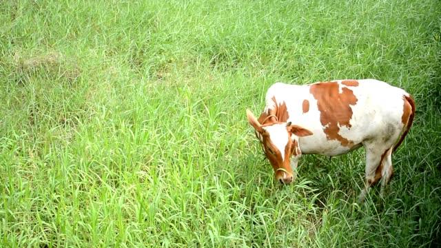 Ko äter gräs, Thailand