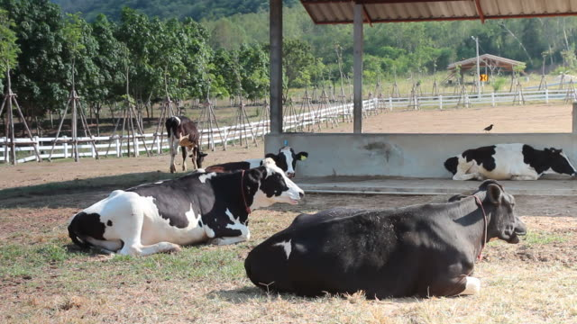 Famiglia di riposo nella fattoria mucca