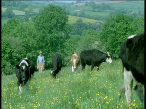 Cow gambols towards camera as farmer walks through field, Devon
