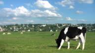 cow grazes in a meadow