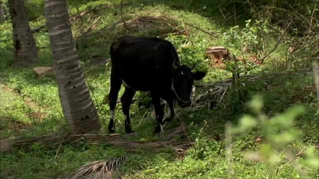 A cow grazes.