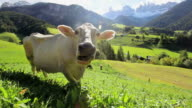 WS Cow grazing in alpine meadow / South Tyrol, Italy