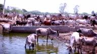 Cow herd drinking water