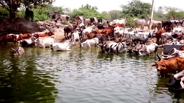 Cow herd drinking water