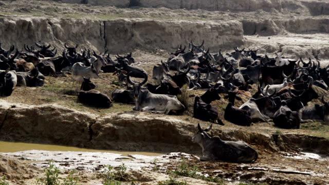 Cow Herd Relaxing