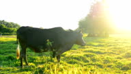 cow in rice field after harvest with blue sky