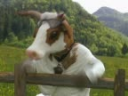 Cow leaned on fence