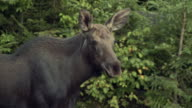 MS Cow moose (Alces alces) at Algonquin Park / Whitney, Ontario, Canada