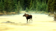 Cow Moose Crossing glowing mountain River