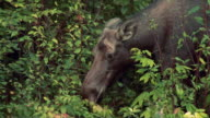 CU Cow moose (Alces alces) foraging and eating leaves at Algonquin Park / Whitney, Ontario, Canada