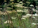 Cow parsley and  grass, MS