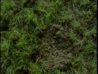 Cow pat splats onto field