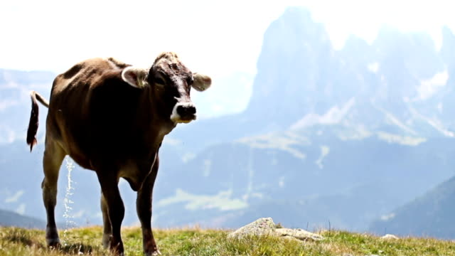 Cow peeing in nature