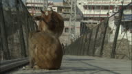 Cow scares macaque from bridge, Rishikesh Available in HD.