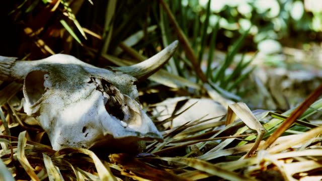 Cow skull on dry grass