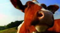 Cow (HD 1080)