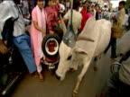 Cow walks past spectators at parade Goa
