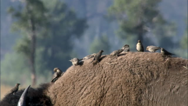 Cowbirds forage on back of Bison (Bison bison), Yellowstone, USA