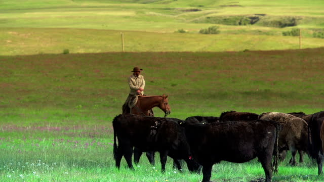 Image result for COWBOYS, COWGIRLS CATTLE