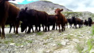 Cowboy herding cattle on  horseback through a mountain pass