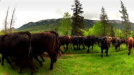 Cowboys herding cattle from field