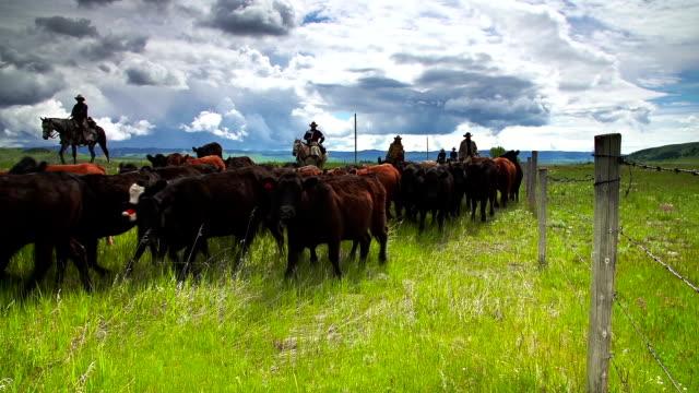 Cowboys herding cattle  horseback along fence line