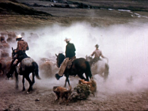 1950 cowboys herding cattle onto pasture and kicking up a lot of dust / Gunnison, Colorado / audio