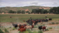 WS Cowboys on horseback, herd cattle running through gate / San Miguel, California, USA