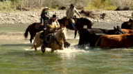 Cowboys  on horseback herding cattle across a river