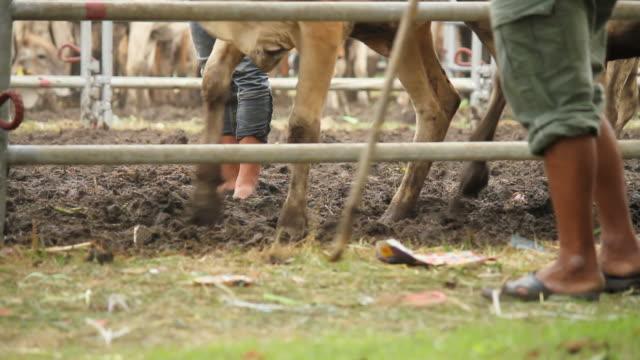 Cowherd herding cows